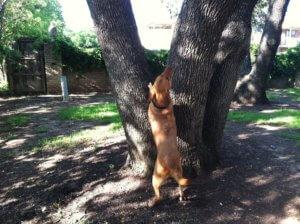 Dog meets squirrel on Shoal Creek Greenbelt, dog can't climb tree
