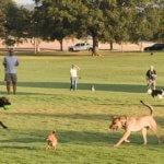 Dogs love to roam across soccer field at Zilker Park