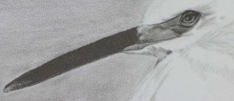 Pencil drawing, egret shorebird, California coast