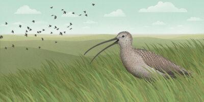 birdnote_grasslands_curlew_threatened