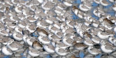sanderlings_dunlins