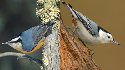 red-breasted_white-breasted_nuthatch