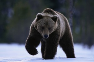 Brown Bear Walking in Snow by Ethan at Picassa