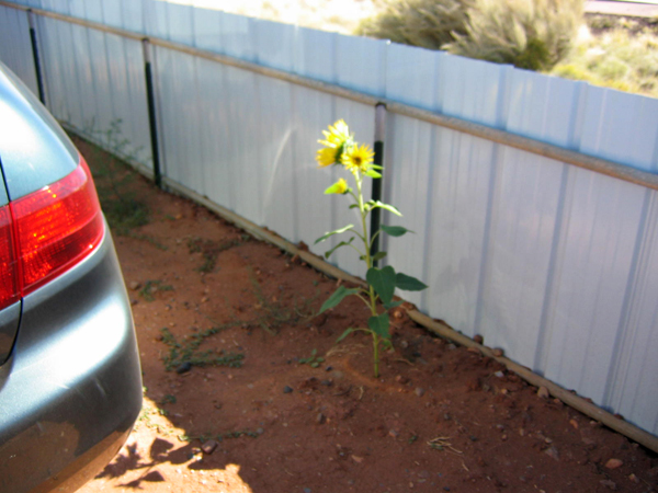 Sunflower in car corral
