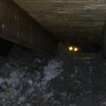 A raccoon encountered in a Lexington, KY attic
