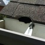 Squirrel entry into attic through roof corner