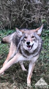 Coyote photographed in Lexington KY