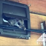 Flying squirrel exiting a bathroom vent on home