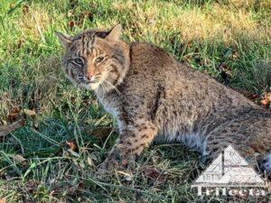 Bobcat photographed in Lexington KY