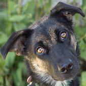 Cheyenne, a Pound Dog Rescue alumni dog.