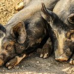 Sleeping with Pigs
