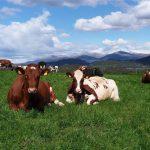 Contented Cows that Understand Norwegian