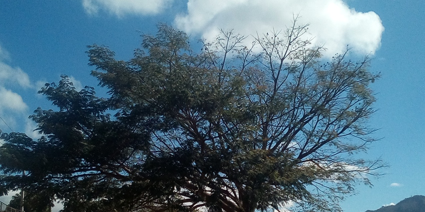 A tree crown with dieback
