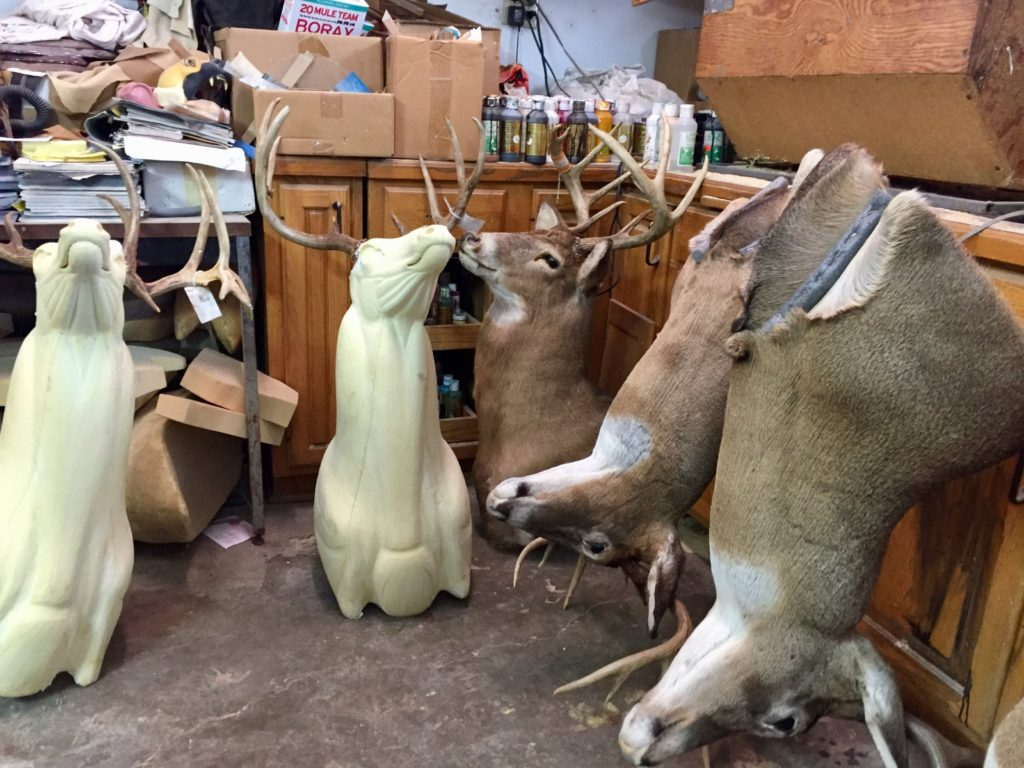 Whitetail deer mounts