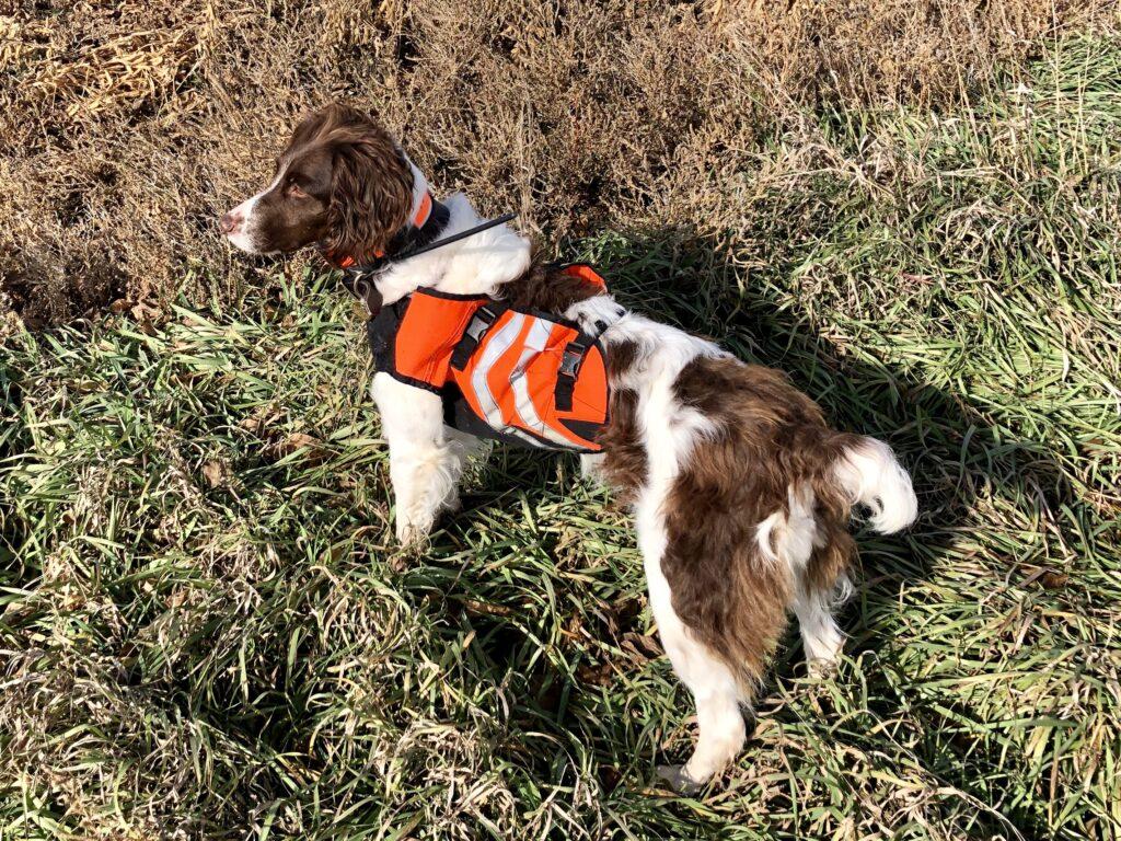 Brittany spaniel dog in protective vest