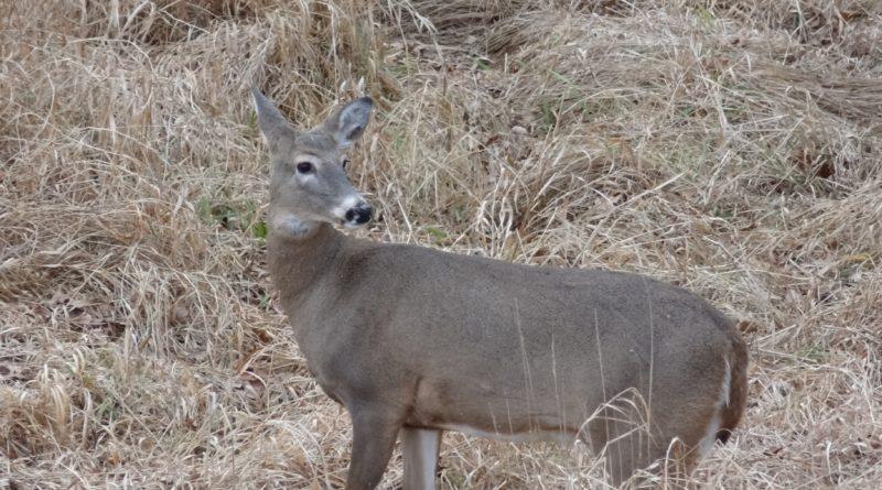 Whitetail doe on alert