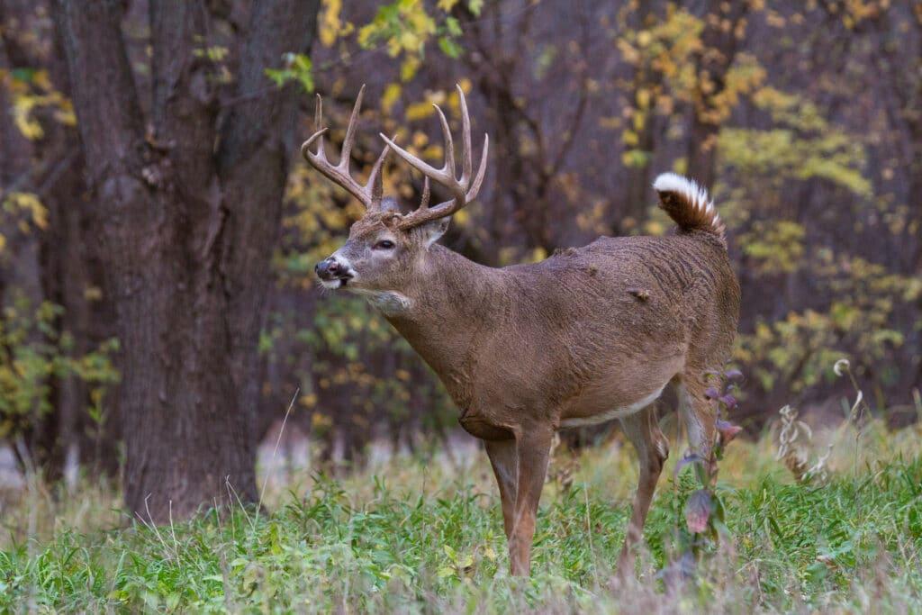 a whitetail deer making a snort wheeze