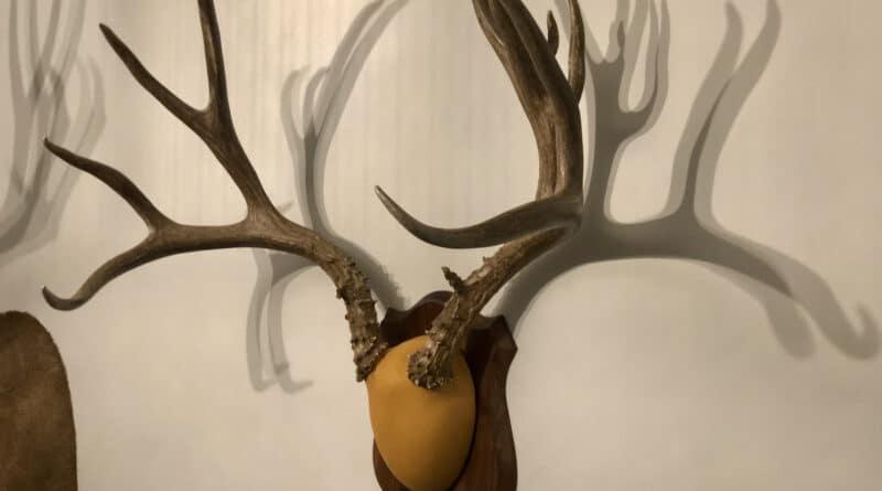Mule Deer Antlers on a Wood Plaque