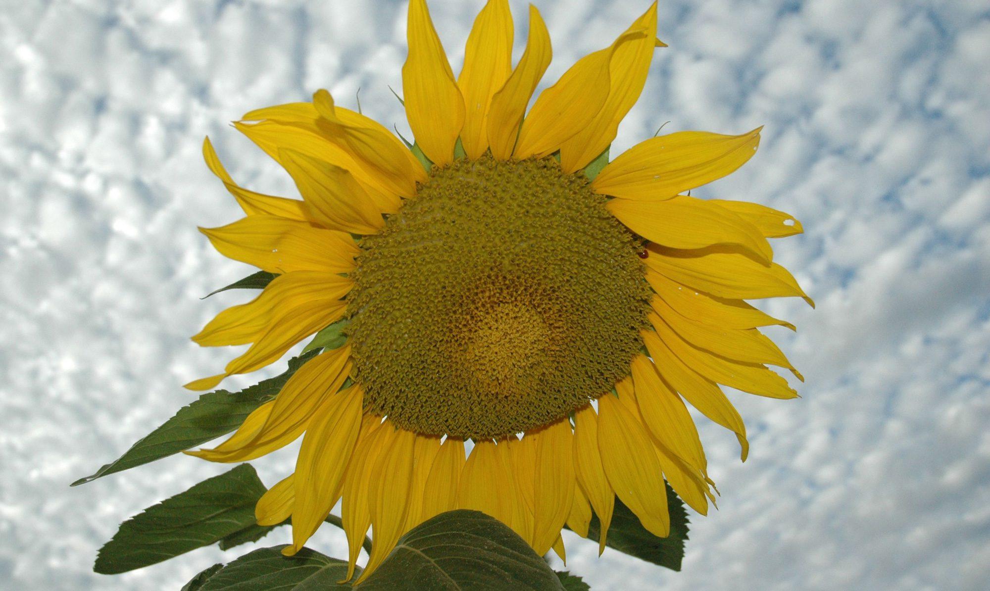 giant yellow sunflower