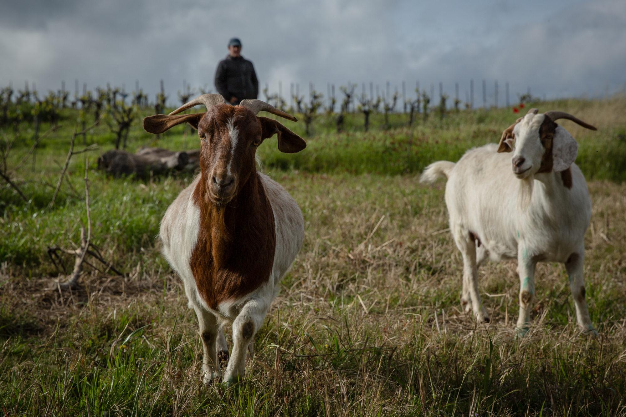 goats roaming the vineyard