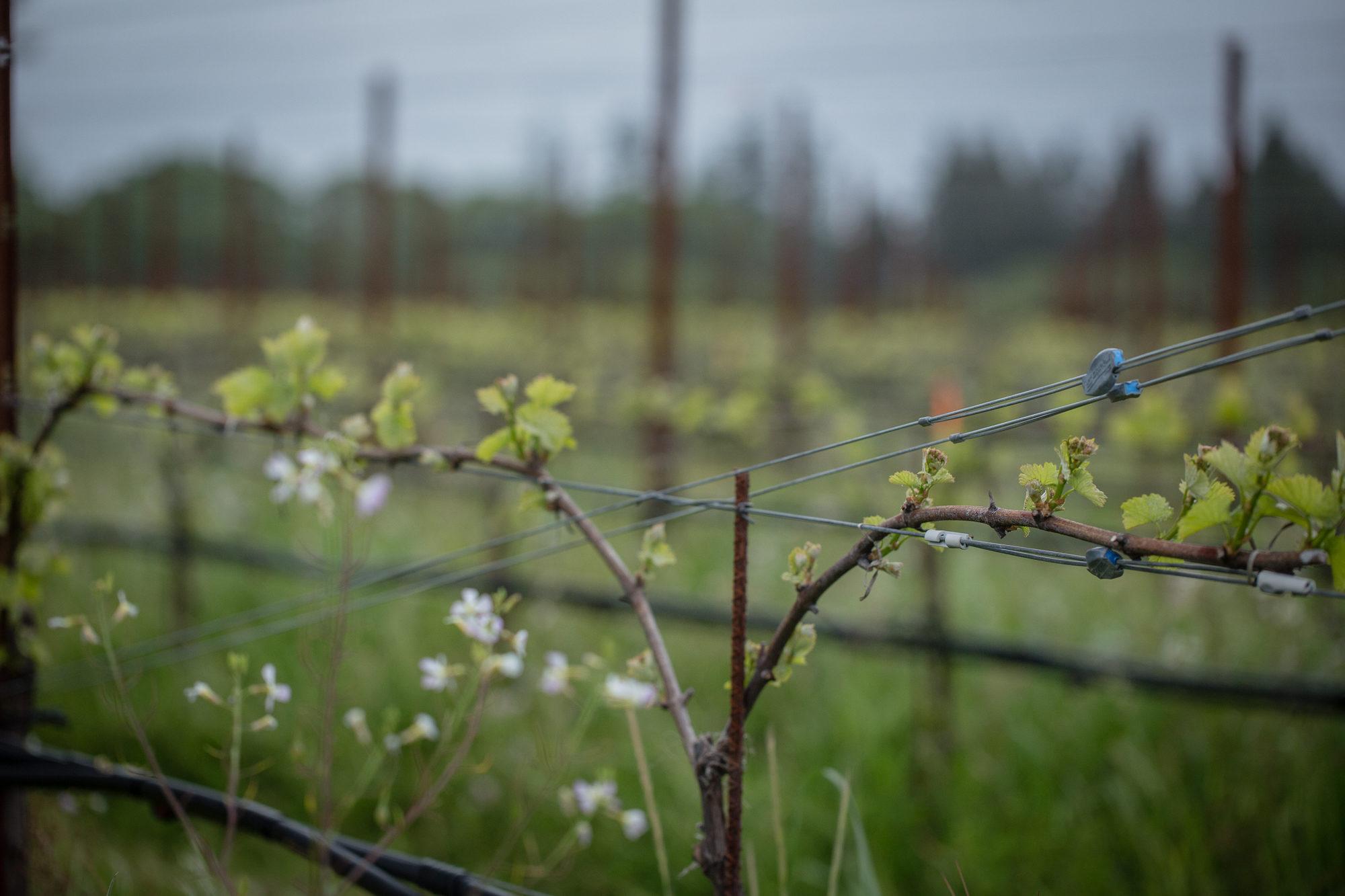 budding vines