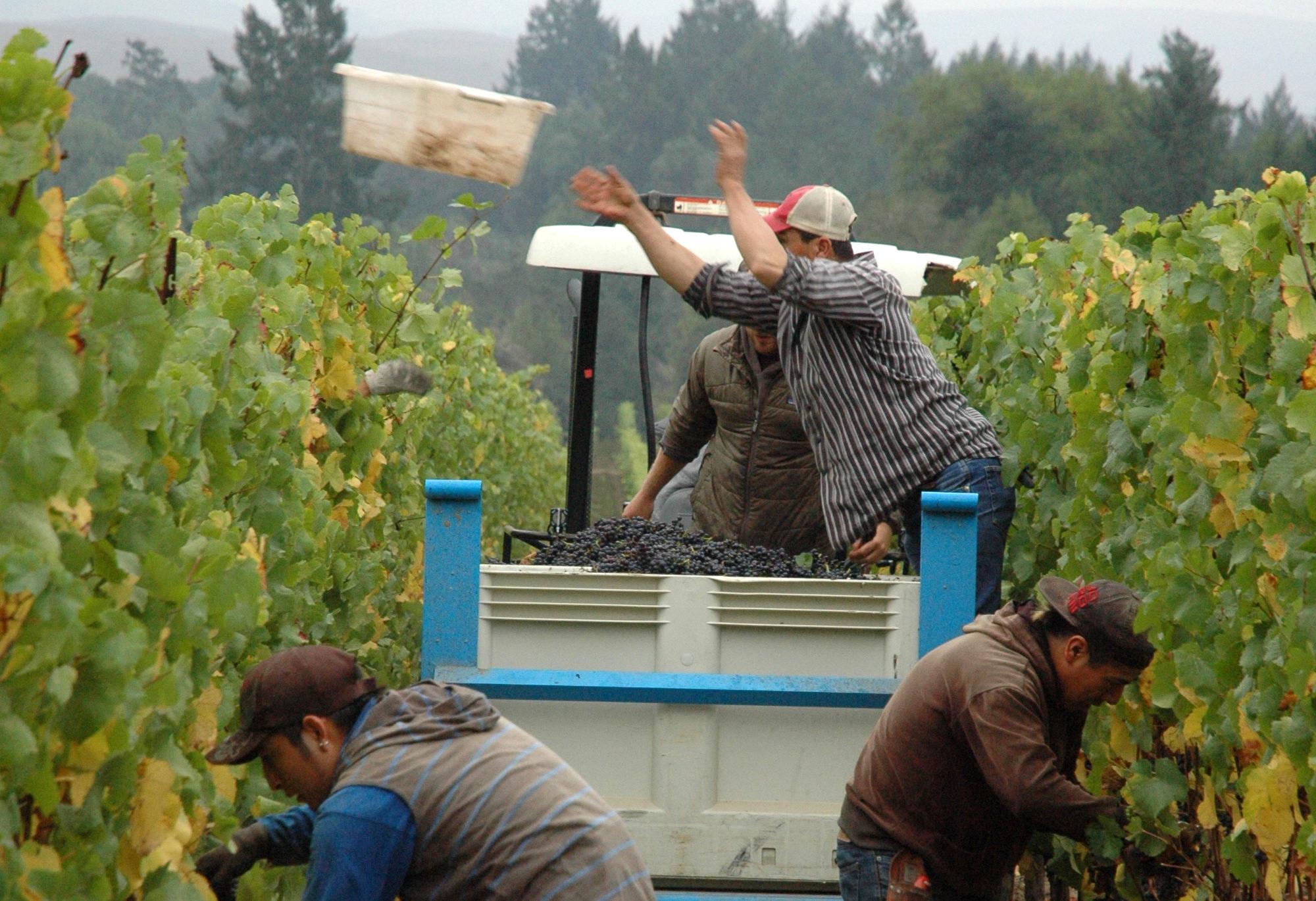 harvest worker tossing grape lug