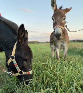 Miniture Donkeys