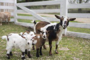 McQuaid Goat