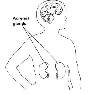 Chapter 6 - Adrenal Glands