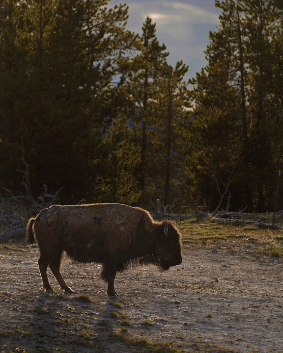 Bison in the Light, Wyoming