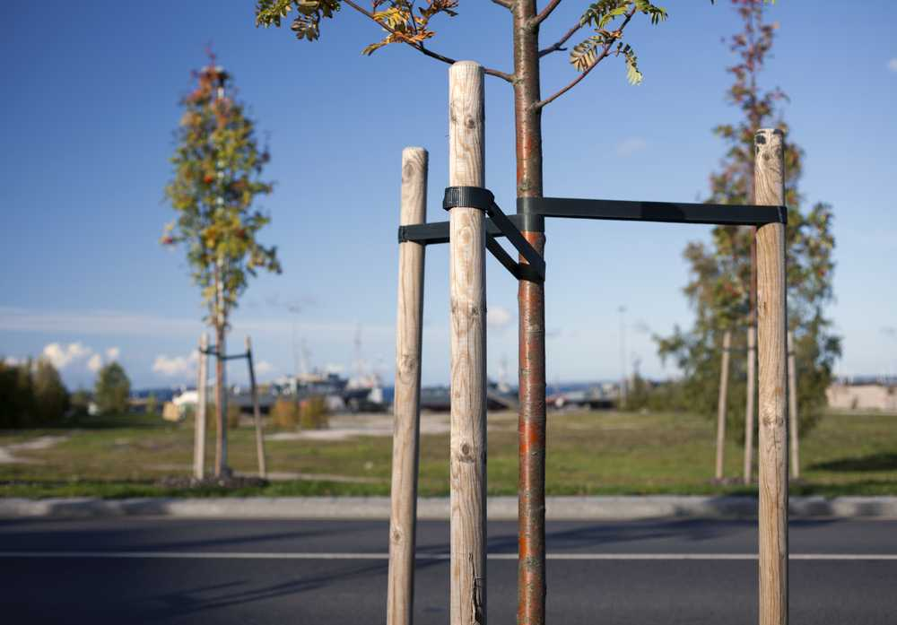 Properly Staked Tree