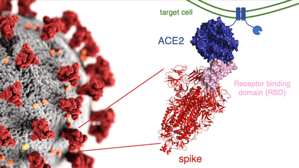 example slide - covid 19 target cell, receptor binding, spike and Ace2