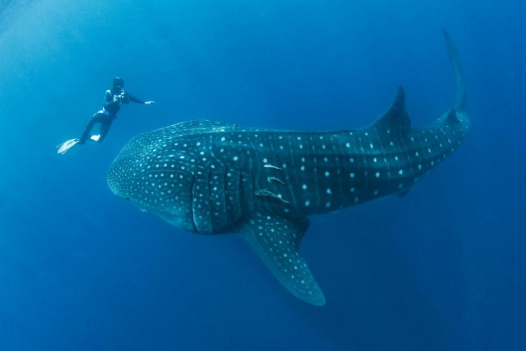 Whale shark season is coming!