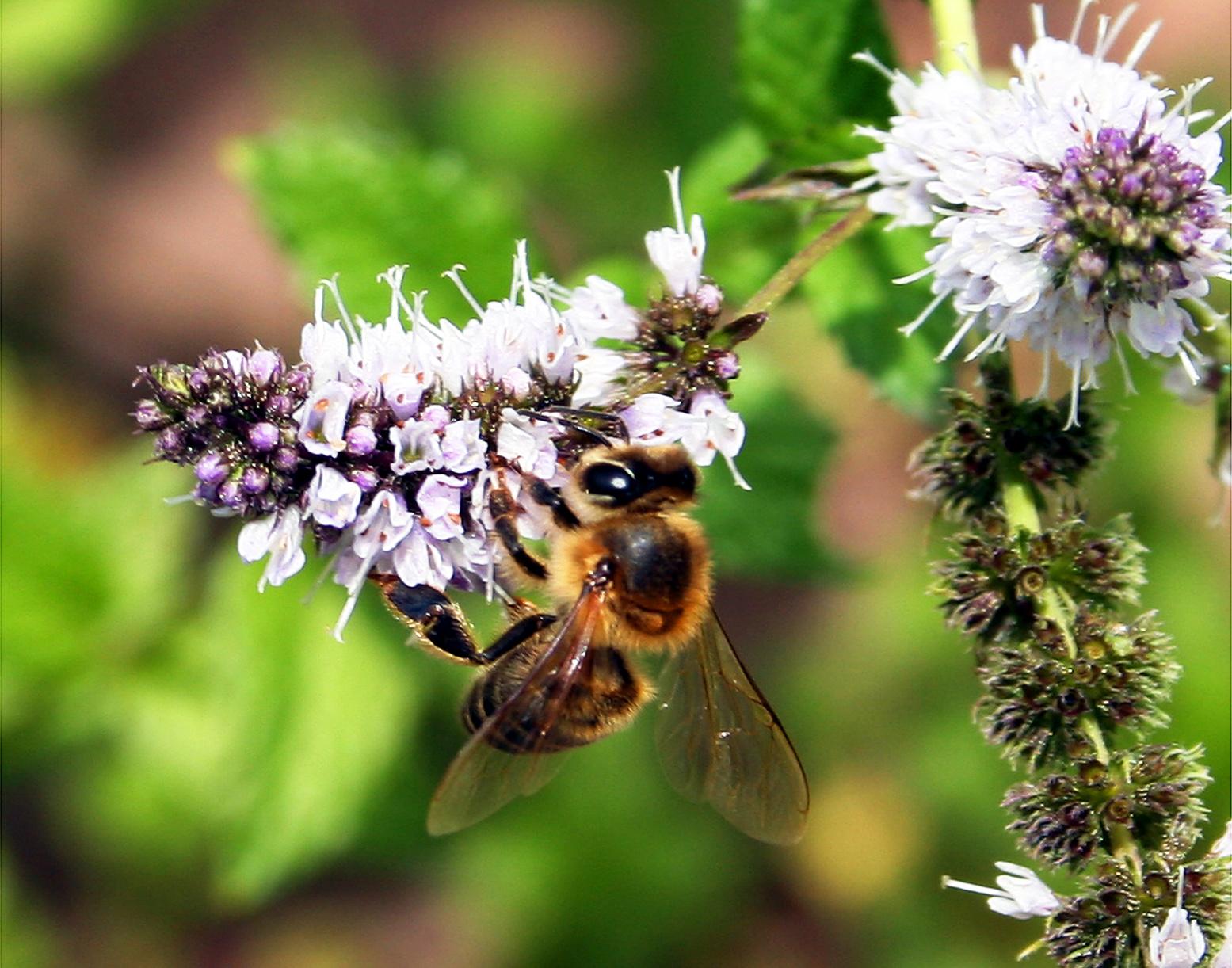 Honey bee on mint blossom