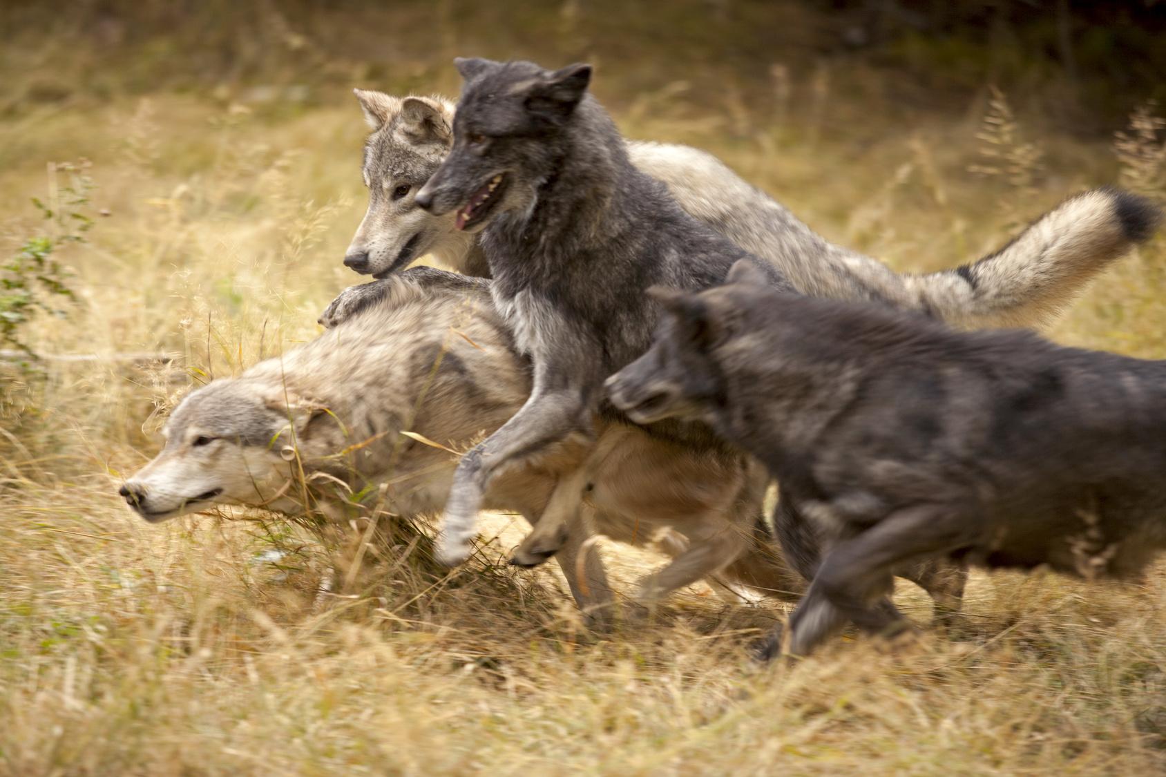 Grey Wolf Pack at Play