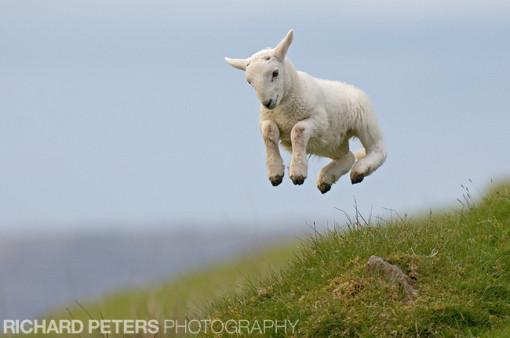 rp spring lamb
