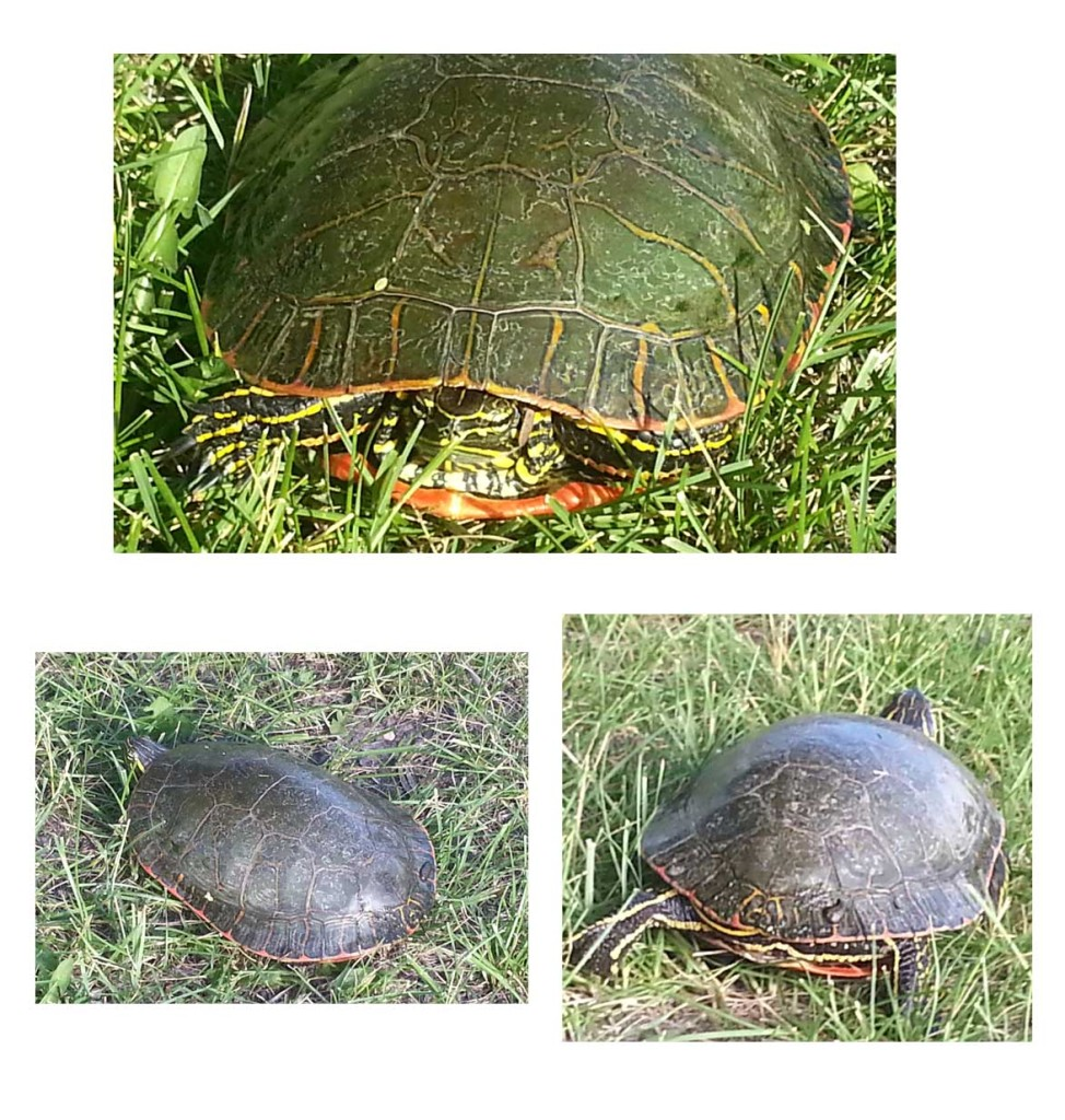 Turdy the Turtle!