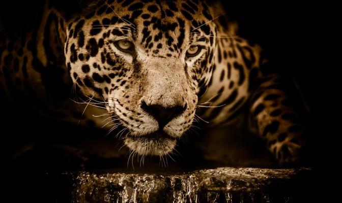 Jaguar - Bite, Diet, Habitat in America