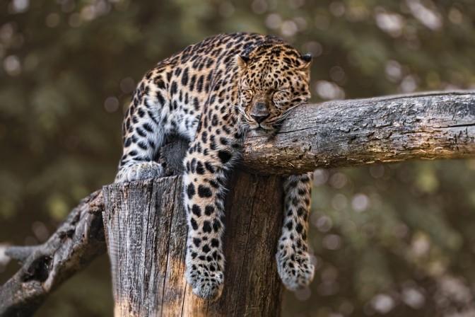 Jaguar on treetop