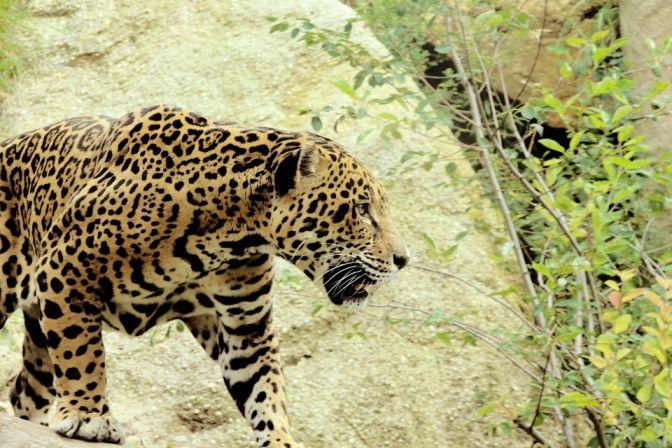 Jaguar full image (shows short legs)