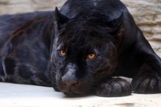 Jaguar with melanism