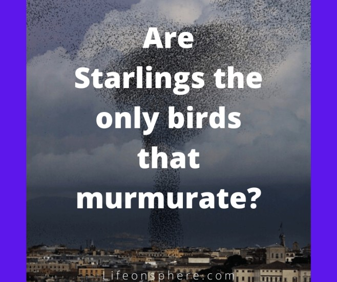 Birds that show murmuration