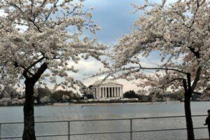 Yoshino cherry bloom