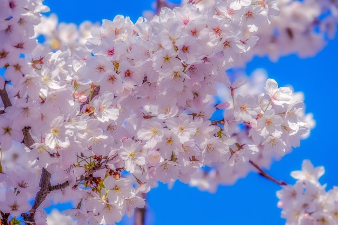 How to take care of Yoshini cherry