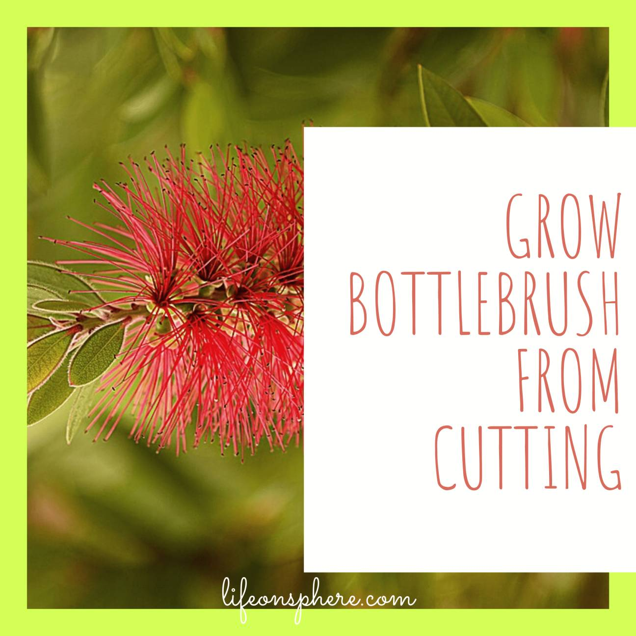 Growing bottlebrush from cutting