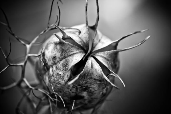 Nigella boll halloween flower