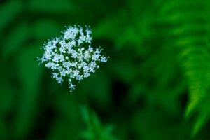 valerian plant for good sleep