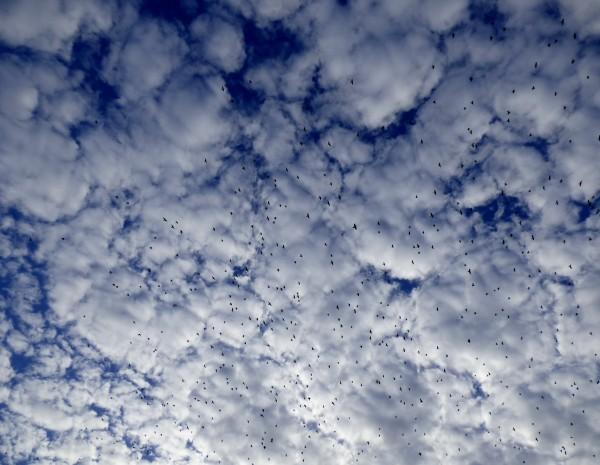 Starling murmuration against blue sky
