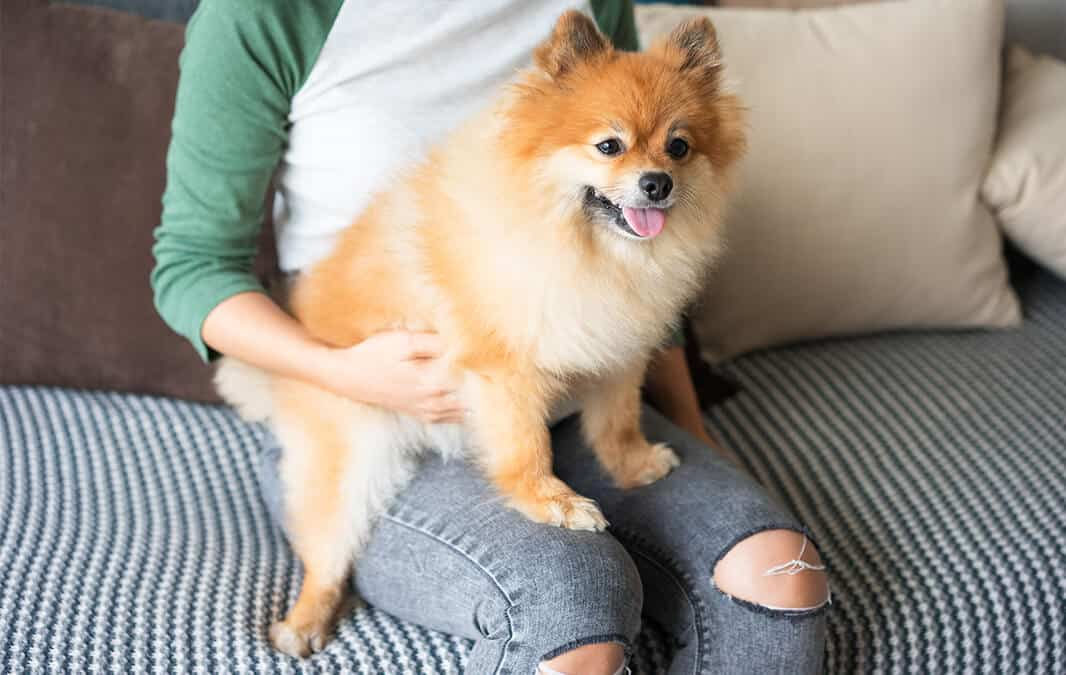 Dog sitting on woman's lap with its tongue out