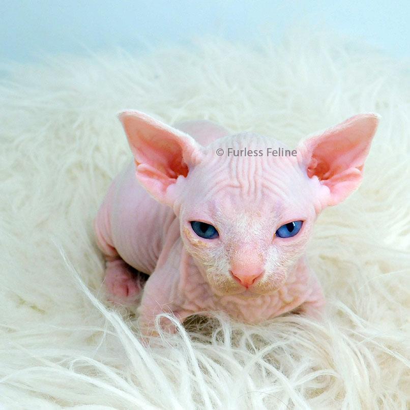 hairless-sphynx-cat